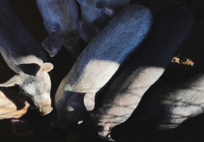 2 Beloved Therapy Pigs Found Beaten to Death in Kentucky